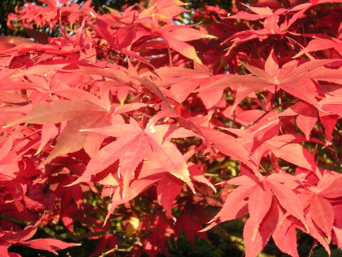 Japanese Maple Help & Information