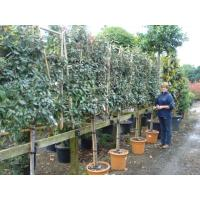 Pleached Trees and Wall Frames