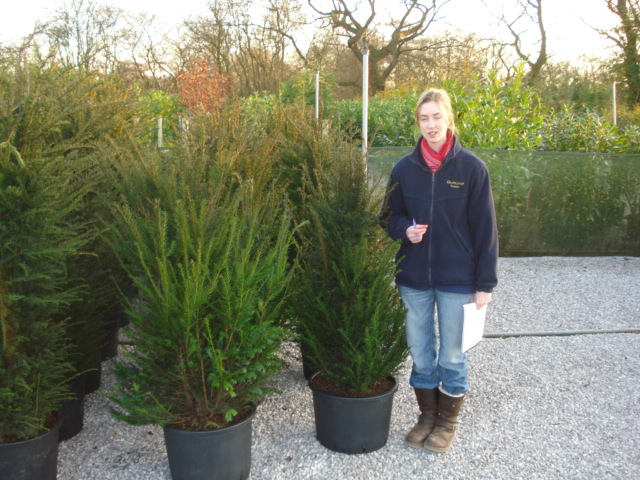 Yew Hedging or Taxus Information