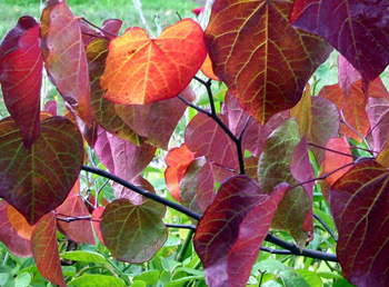 Cercis grasslands nursery free green lane over peover knutsford cercis or redbud are deciduous shrubs or small trees with heart shaped leaves and clusters of bright pea like flowers flowers are deep crimson pink or mightylinksfo