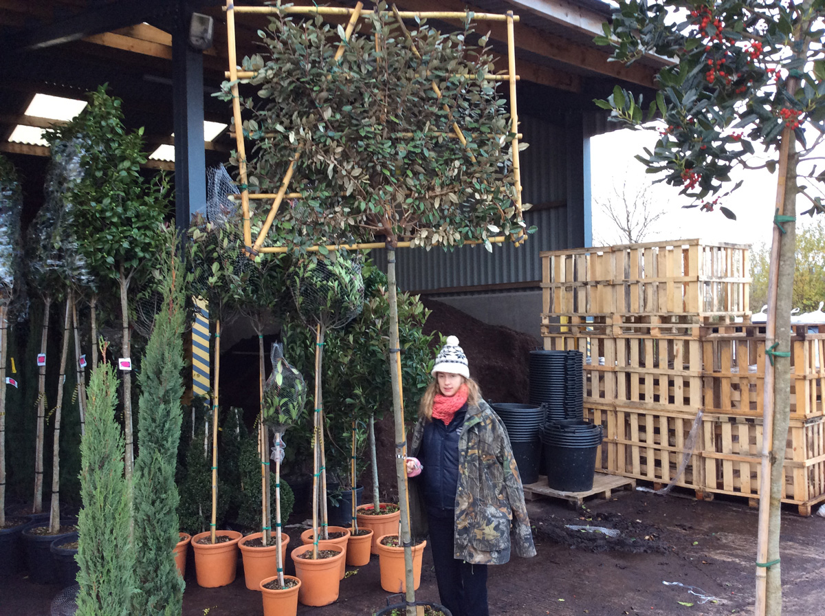 Pleached Plants and Standards
