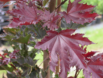 Maples & Sycamores