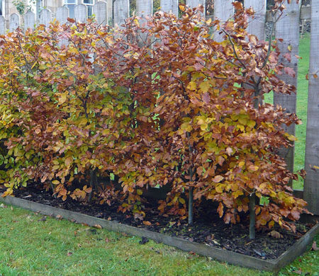Beech Or Fagus Hedging Information
