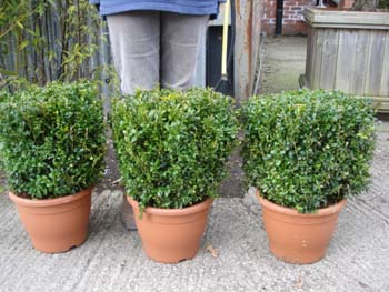Topiary Cubes