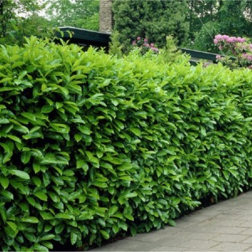 Laurel Hedging Help & Information