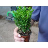 Buxus or Box Hedging