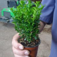 Box Hedging (Buxus Sempervirens)