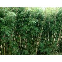 Fargesia Bamboo Hedges
