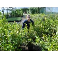 Griselinia Hedging