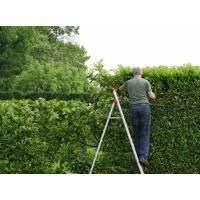 How to plant a laurel hedge