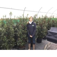 Ilex, Holly Hedging