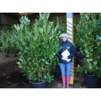 Laurel Hedging (Prunus Laurocerasus or Cherry Laurel)