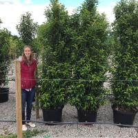 Portuguese Laurel  Hedging
