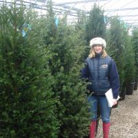 Yew Hedging