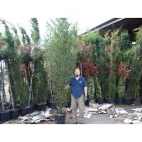 Bamboo Hedging