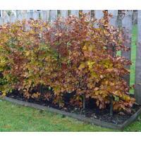 Fagus, beech hedging