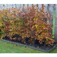 Beech Hedging Information