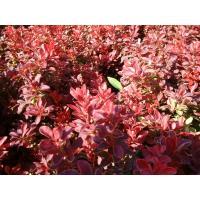 Berberis hedging