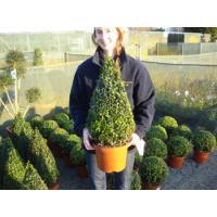 Topiary Cones