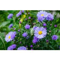 How to care for perennials in winter