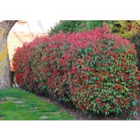 Photinia Hedging Information