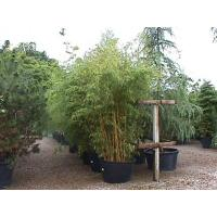 Bamboo Hedging Help and Information