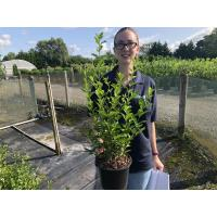 Privet Hedging (Ligustrum)