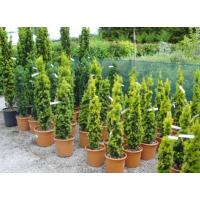 Taxus Conifers