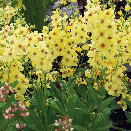 Verbascum grasslands nursery free green lane over peover verbascum or mullein are tall perennials that are perfect for back of the borders they have large velvety green leaves on which tall flower stems are mightylinksfo