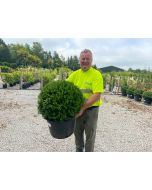 Ilex Crenata Dark Green Ball 30 Litre Pot 55-60cm