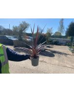 Cordyline Red Star 2 Litre Pot