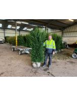 Yew Hedging Root Ball Extra Wide 220-230 cm