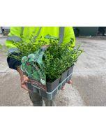 Lonicera May Green 1 Litre Pot x 6 Plants