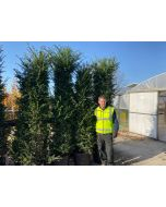 Yew Hedging Root Ball 200-220 cm