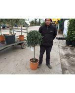 Olea Europea 1/4 Standard 18 Litre Pot