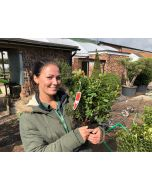 Azalea Japonica Vukys Scarlet 2 Litre Pot