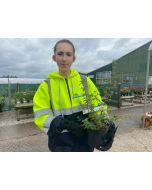 Fuchsia Riccartonii 2 Litre Pot
