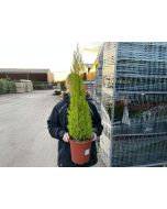 Cupressus Macrocarpa Wilma 7.5 Litre Pot