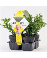 Box Holly Ilex Crenata Dark Green 4 pack x 9 cm pot