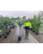 Prunus serrulata Kanzan 10 Litre Pot