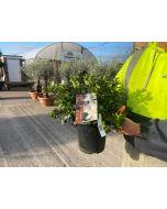 Azalea Japonica Dorothy Heiden 4.5 Litre Pot