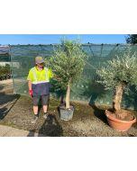Olive Tree Heavy Trunked Half Standard 45 Litre Pot