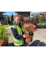 Pieris Japonica Flaming Silver 10 Litre Pot