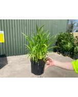 Hemerocallis Early Truffle 1.5 Litre Pot