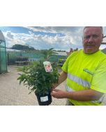 Azalea Mollis Berry Rose 3 Litre Pot