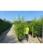 Bamboo Phyllostachys Aurea 25 Litre Pot 200-220cm