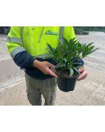 Skimmia Japonica Kew Green 2 Litre Pot