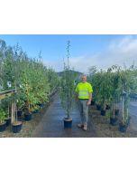 Carpinus Betulus Fastigiata 15 Litre Pot