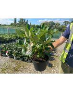 Rhododendron Elsie Straver 10 Litre Pot
