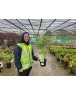 Acer palmatum Going Green 3 Litre Pot